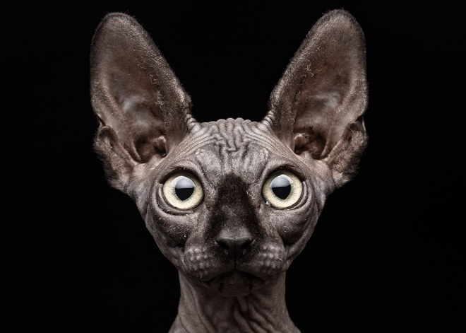 sphynx-cat-Patrick-Matte-Flickr-Select-Getty-Images-101880050